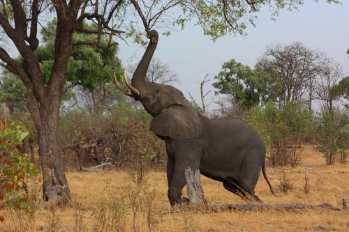 African elephant (Loxodonta africana) in Botswana. Photo: Charlesjsharp