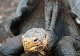 Flipping over is a perilous hazard for the giant tortoises of the Galápagos Islands. Tim Kelley